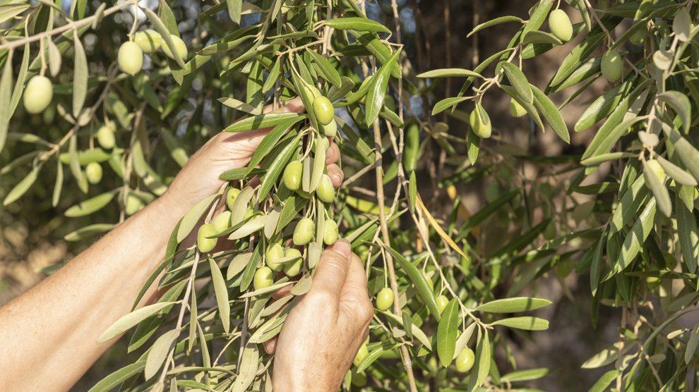Recolección de la oliva